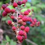 WILD BERRIES 2_edited-1