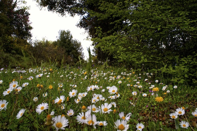 SPRING FIELD WITH DAISIES